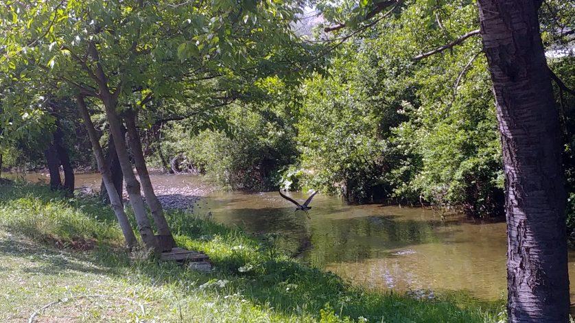 Чапла в река Перперек